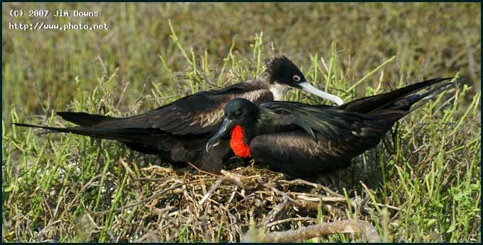 nesting frigatebirds seeking critique downs jim