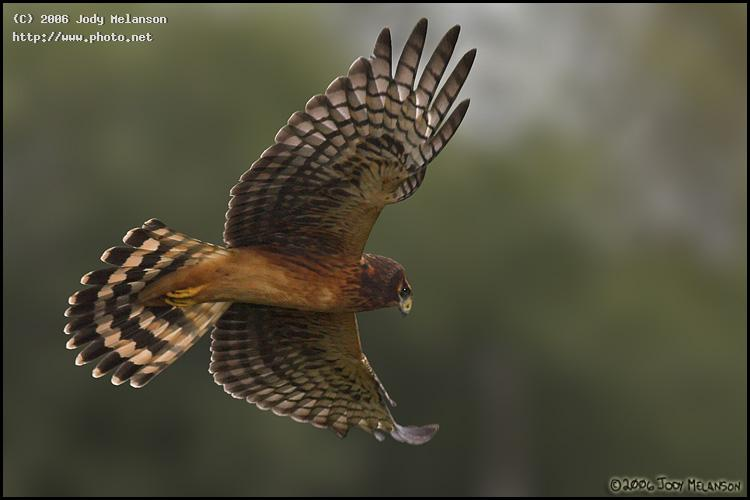 northern harrier seeking critique melanson jody