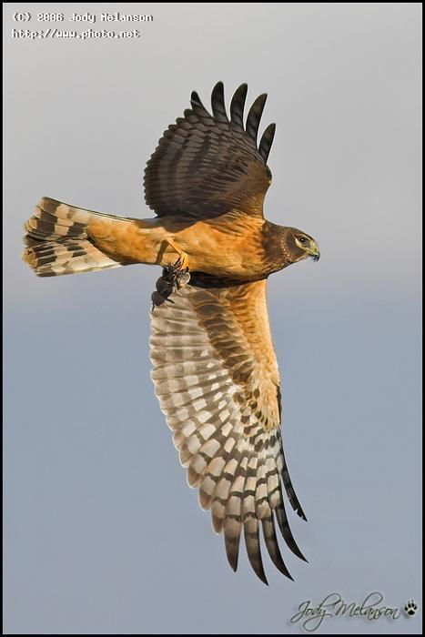 northern harrier with lunch canon ef mm fl usm eo melanson jody