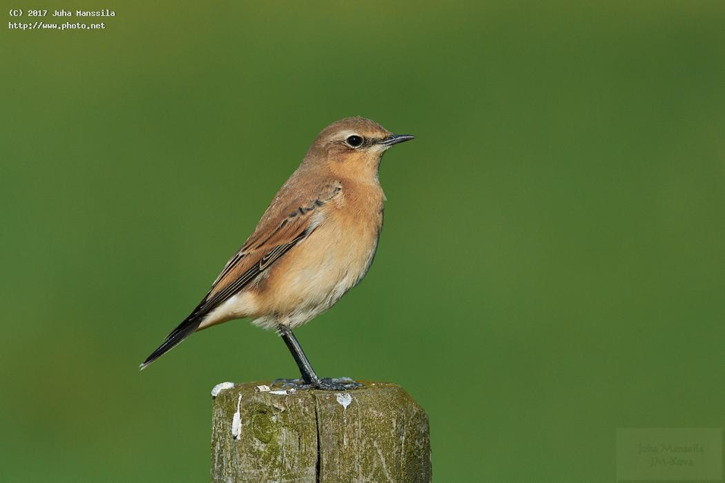 northern wheatear nature birds bird wild wildlife oenanthe manssila juha