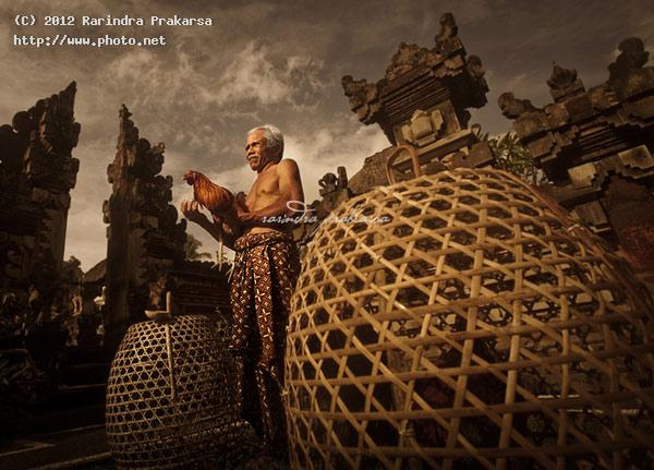 old balinese man with his rooster gambling taje bali indonesia prakarsa rarindra