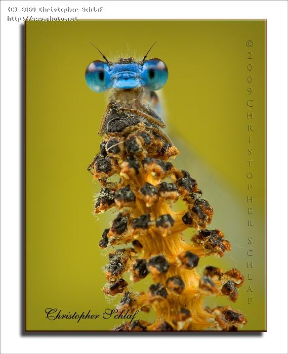 old blue eyes damselfly seeking critique schlaf christopher