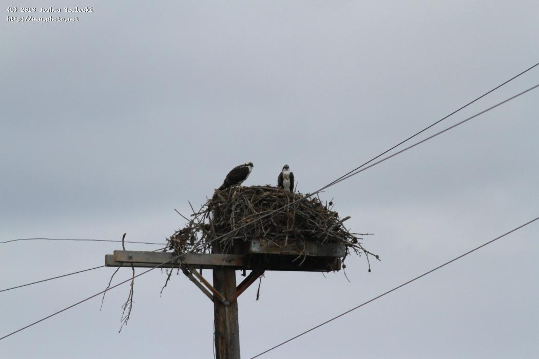 opsrey nest grand tetons national park szulecki joshua