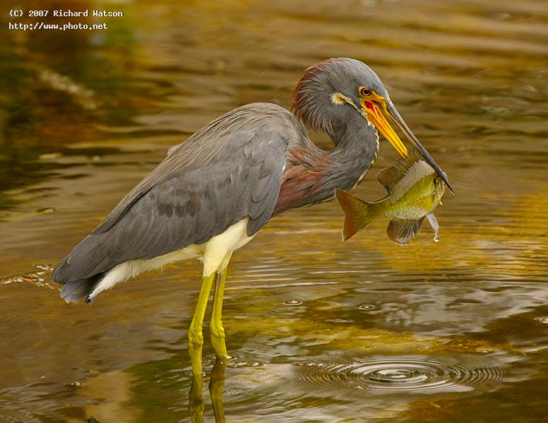 optimistic tricolor heron seeking critique watson richard