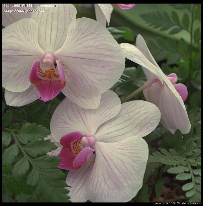 orchids in hilo hawaii greenspun philip