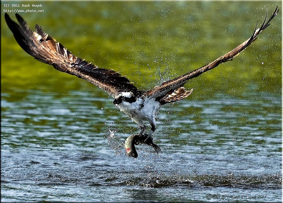 Osprey catching a fish please view larger for Osprey catching fish