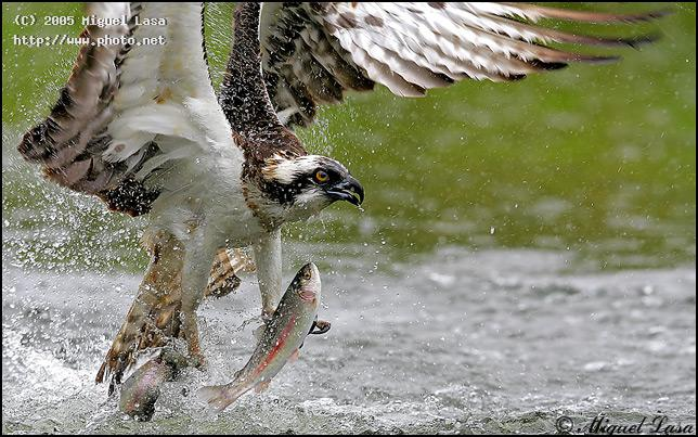osprey in action seeking critique lasa miguel