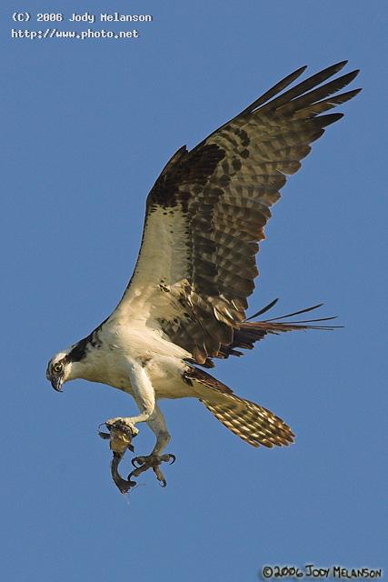 osprey with lunch seeking critique melanson jody