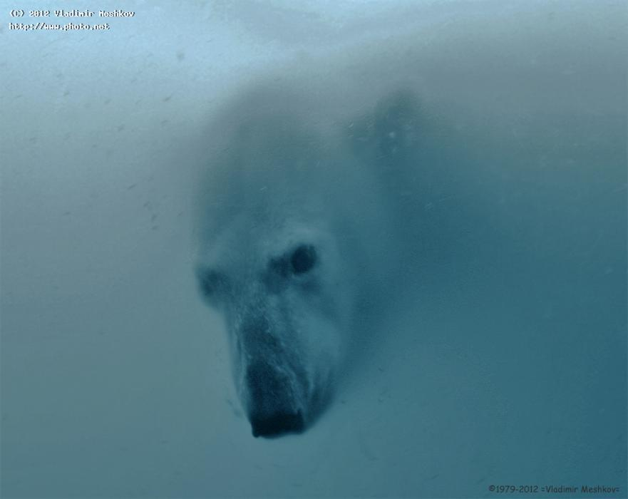 polar bear under water seeking critique meshkov vladimir