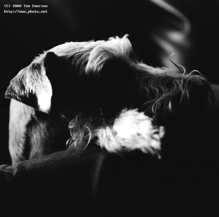pookah profile film irish terrier black and white emerson tom