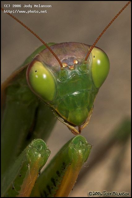 praying mantis seeking critique melanson jody