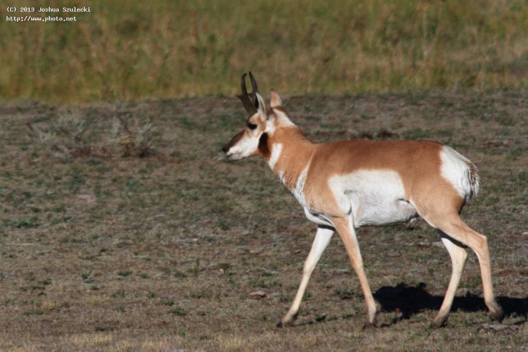 pronghorn antelope i nearly struck with my car l szulecki joshua
