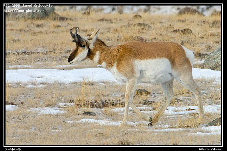 pronghorn buck yellowstone national park nikon d n gricoskie jared