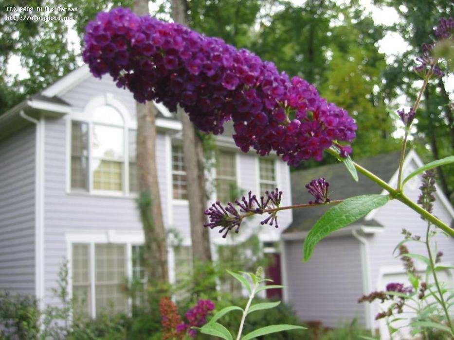 purple flowers of butterfly bush with my ho barman dilip