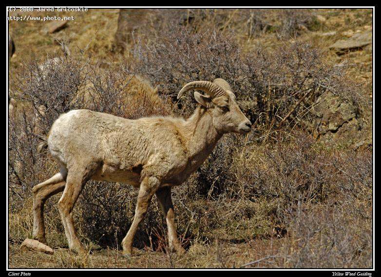 ram by lisa sandberg rocky mountain national park ni gricoskie jared