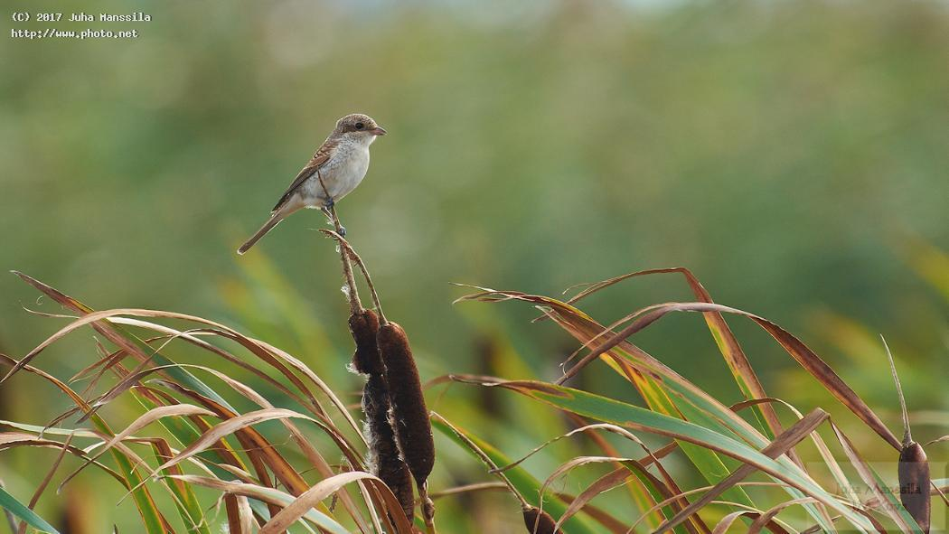 red backed shrike nature wildlife birds bird wild manssila juha