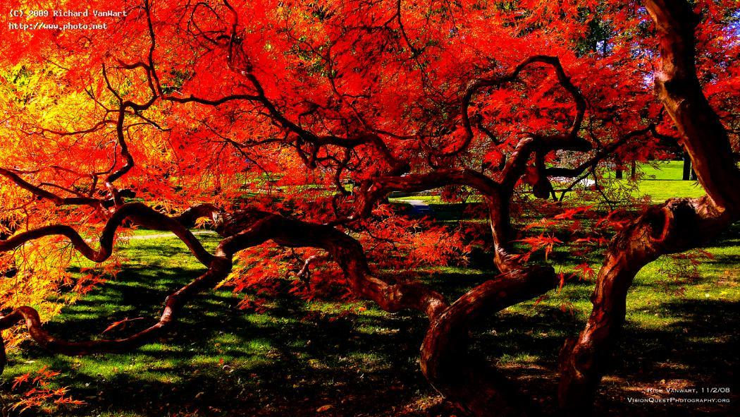 red dragon japanese maple in autumn color newton m vanwart richard