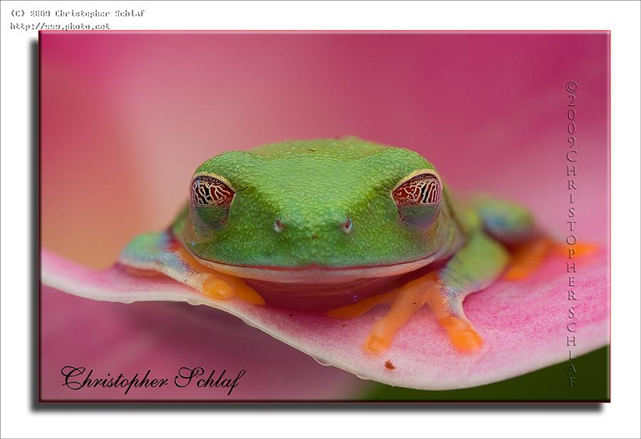 red eyed tree frog seeking critique schlaf christopher