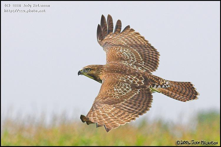 redtail hawk seeking critique melanson jody