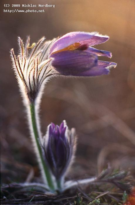 rise and shine pulsatilla anemone stenshuvud seeking critique nordborg nicklas