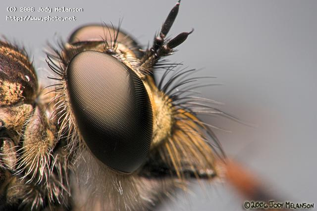 robberfly seeking critique melanson jody
