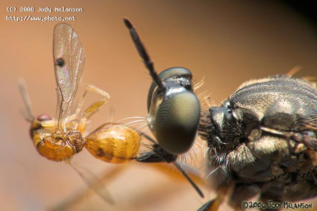 robberfly with kill seeking critique melanson jody