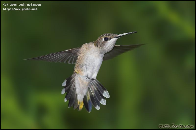 ruby throated hummingbird seeking critique melanson jody