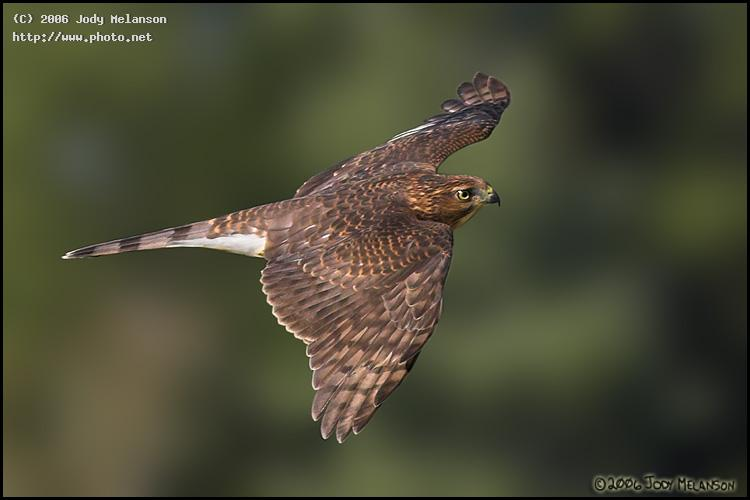 sharp shinned hawk seeking critique melanson jody
