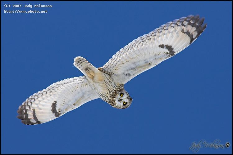 short eared owl canon eos d mark ii n ef mm melanson jody