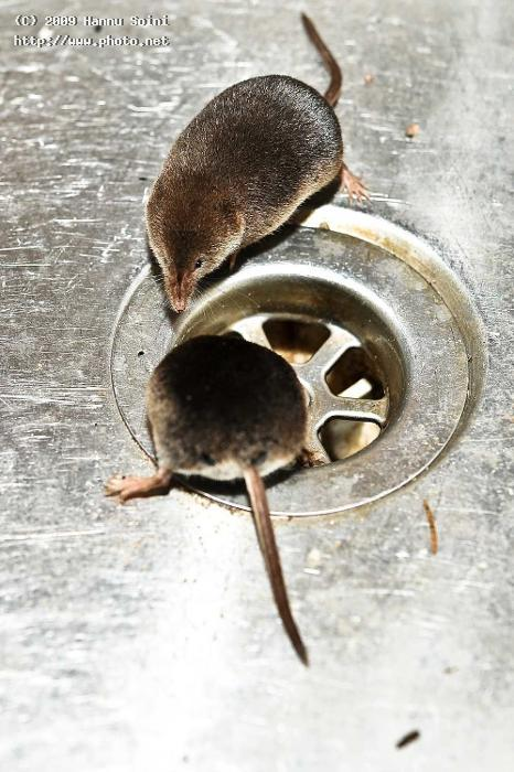 shrew mom and jr in the sink seeking critique soini hannu