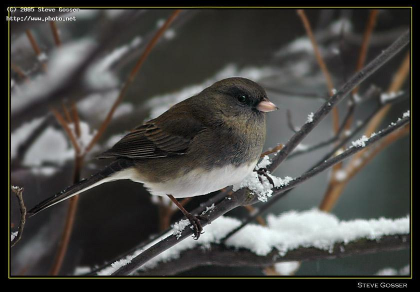 snow bird junco seeking critique gosser steve