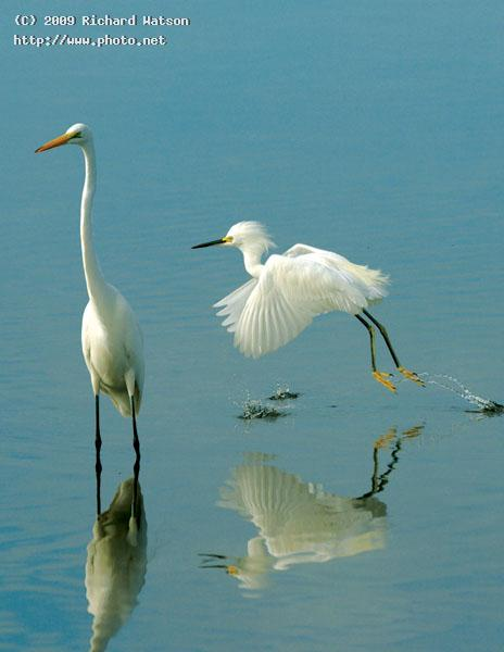 snowy and great egret ddwr sanibel island watson richard