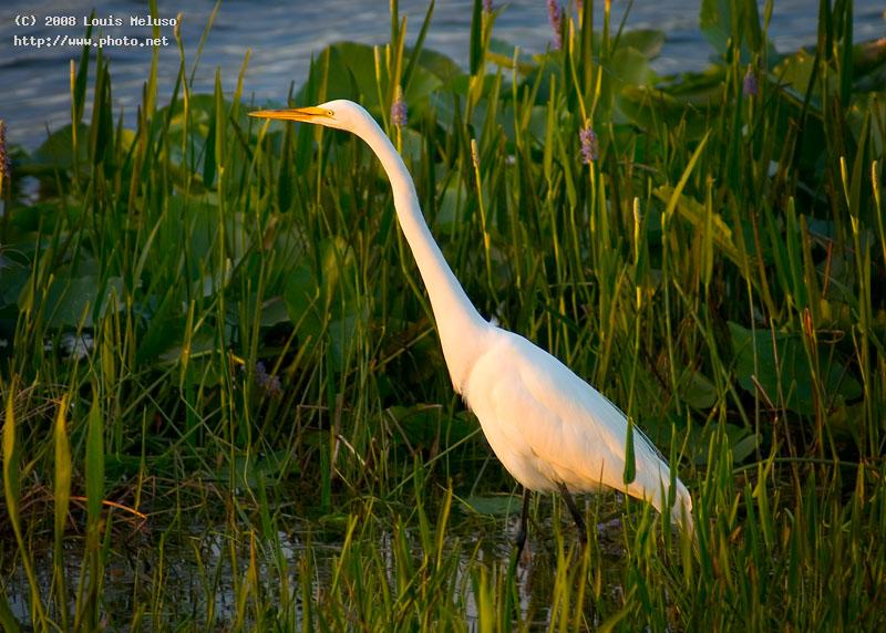 snowy egret at sunset florida meluso louis