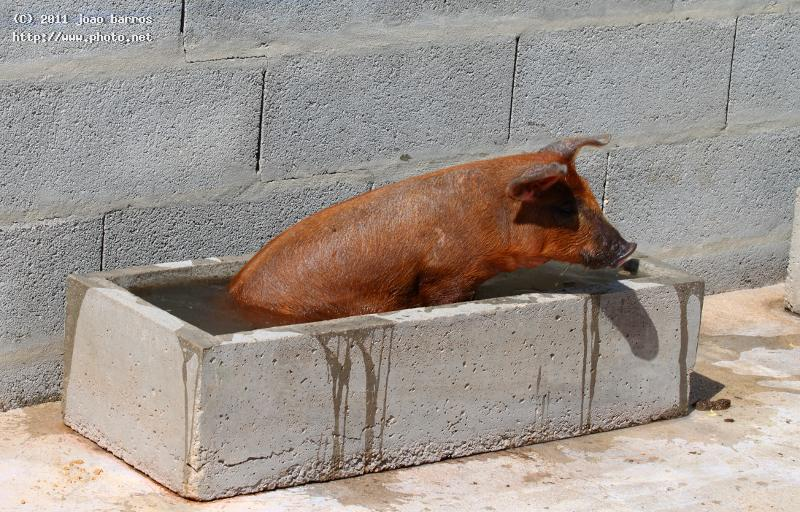 so hot pig bath heat barros joao