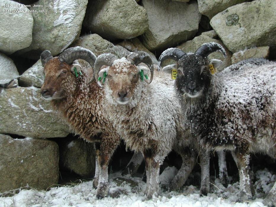 evolution of the wild soay sheep Changing species, changing environments: unit project the way organisms evolve is a very delicate process, and a number of factors can influence this a prime example would be the recent evolution of the wild soay sheep residing on the scottish island of hirta.