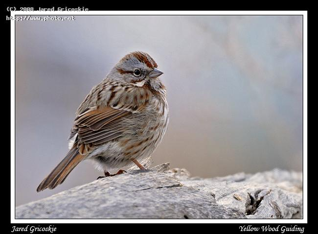 song sparrow rocky national park nikon mm fd ed if af s ii gricoskie jared