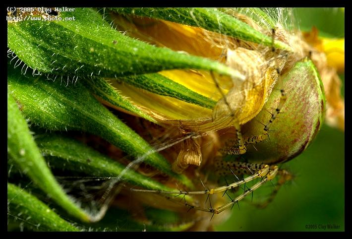 spider and the fading sunflower walker clay