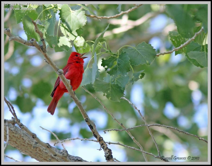 summer tanager male big morongo seeking critique greaves russell