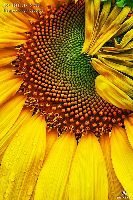 sunflower form and texture head photographer photography beauty mac crotty jim