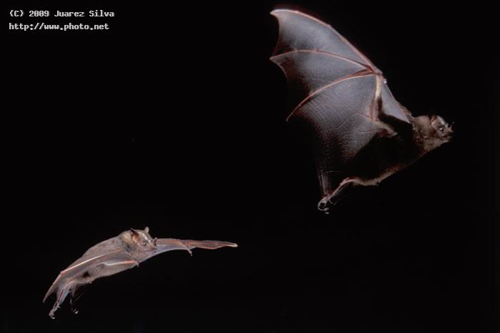 the flight of a bat stroboscopic photo silva juarez