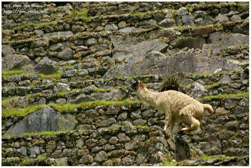 the leaping llama of machu picchu sony alpha downs jim