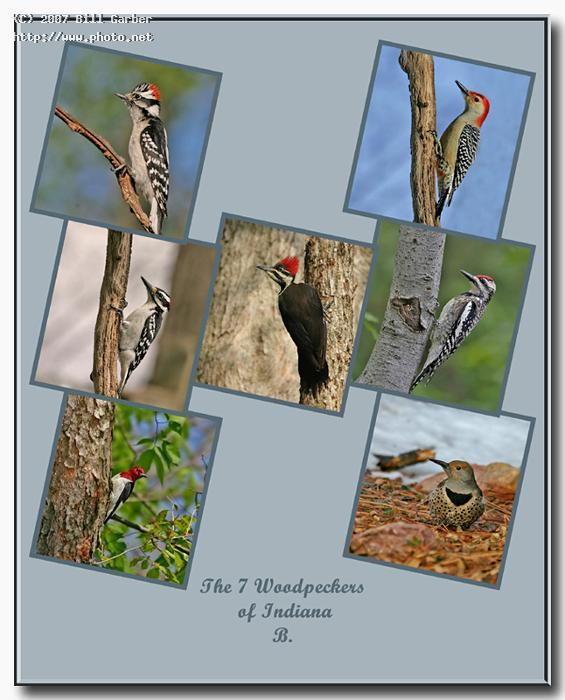 the woodpeckers of indiana seeking critique garber bill