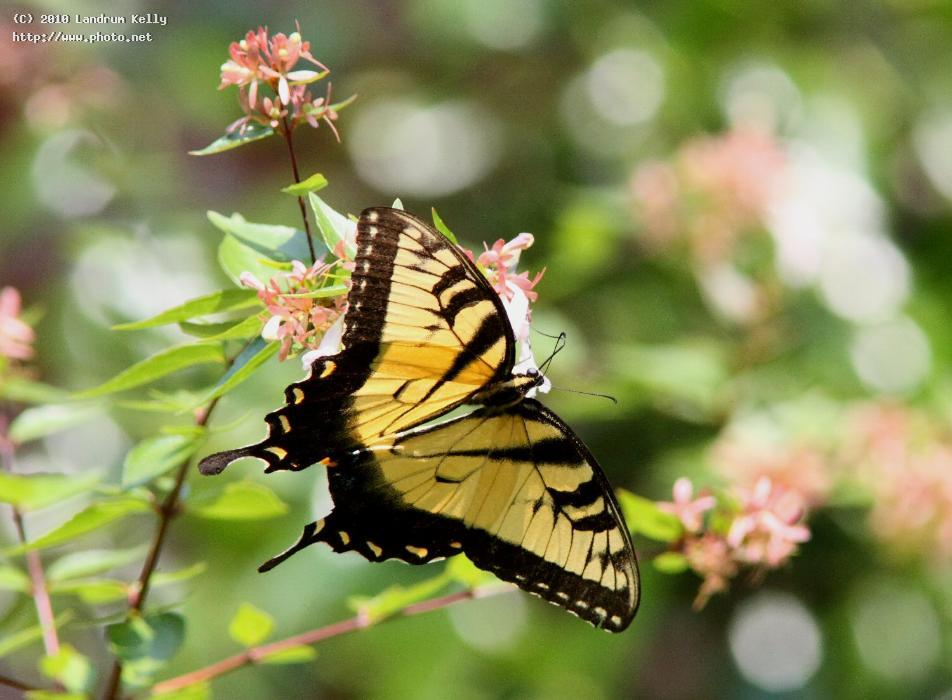 tiger swallowtail perched sideways august seeking critique kelly landrum