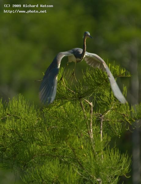 tricolor heron wildlife nature birds watson richard