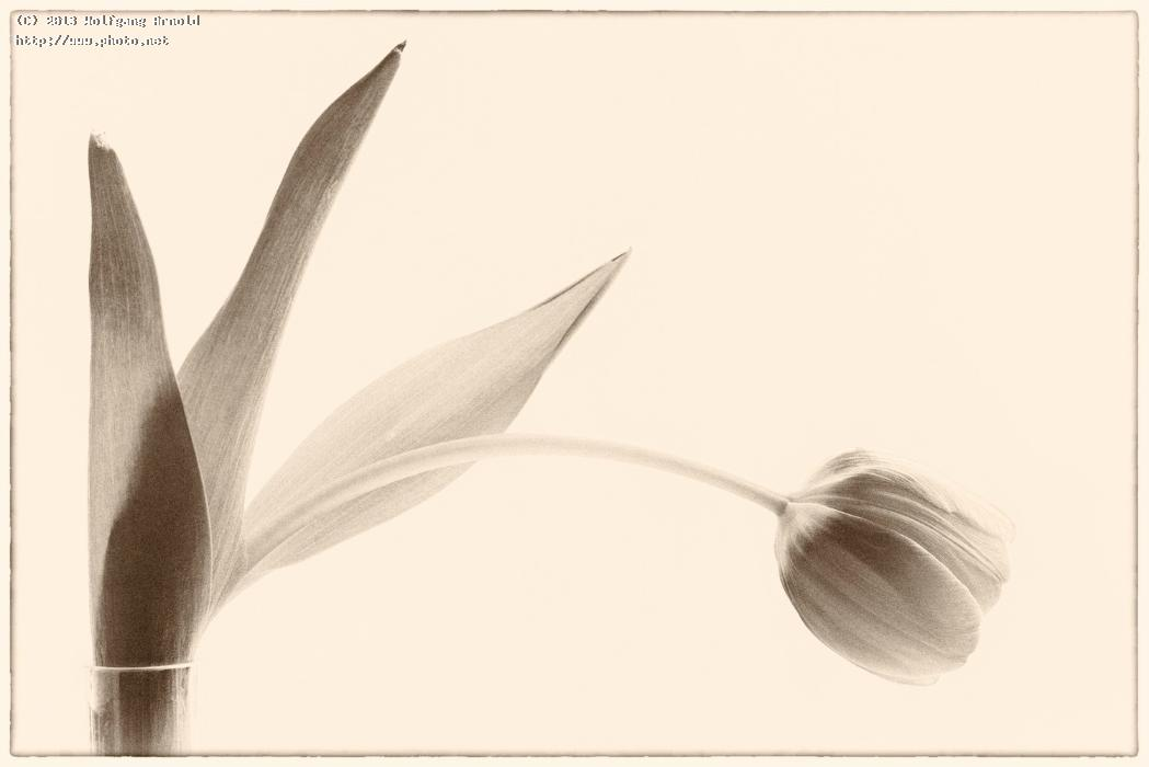 untitled whithering drooping sepia tulip arnold wolfgang