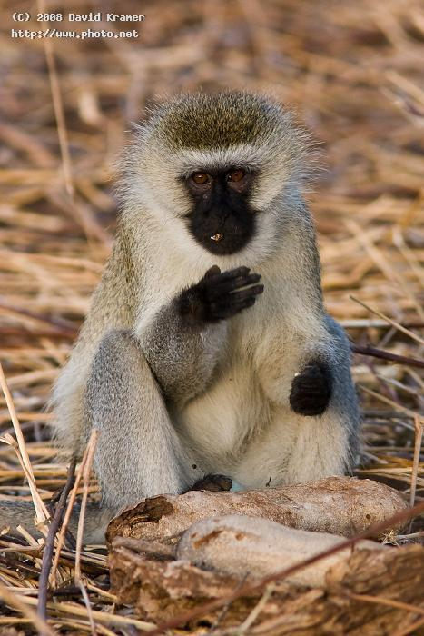 vervet monkey canon d ef fl is x te kramer david