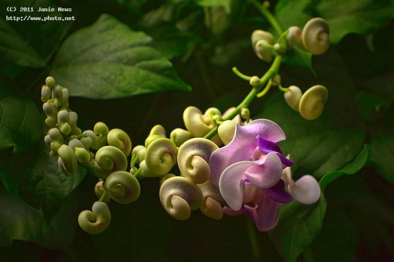 vigna caracalla snail flower news janie