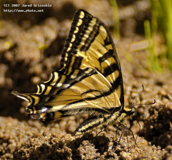 western tiger swallowtail gricoskie jared