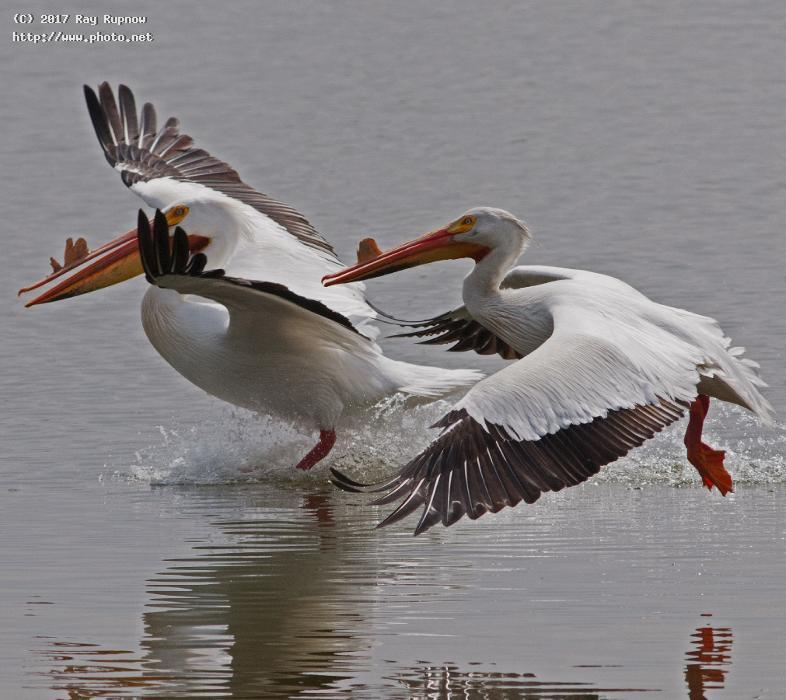 white pelicans birds wisconsin nature marshes on the marsh rupnow ray