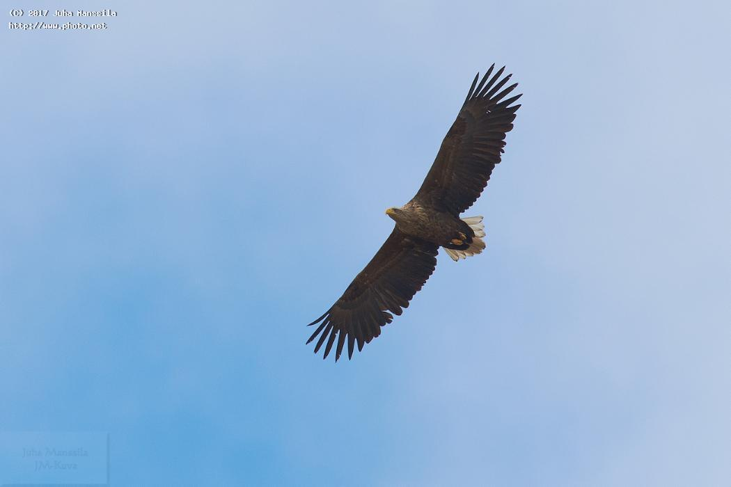 white tailed eagle nature birds bird wild wildlife haliaeetus albicilla manssila juha